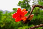 台中市---東勢區:2015東關路木棉花盛開16