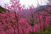 三峽賞櫻超級秘境A區:2015年開到爆炸美到翻17