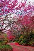 三峽賞櫻超級秘境B區:2015霧裡看花花還是花29