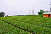 新竹縣---湖口鄉:太平窩口茶園