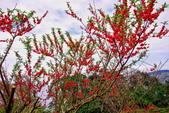 三峽賞櫻超級秘境B區:2015霧裡看花花還是花138