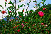 新北市---坪林區:2014粗石斛茶花公園
