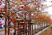 台中市---東勢區:2015東關路木棉花盛開14