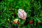 茶花之美:2013坪林粗石斛茶花園5