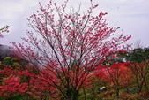 三峽賞櫻超級秘境B區:2015霧裡看花花還是花85