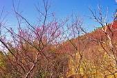 楊梅超級神秘櫻花林:2015年櫻花林隨拍17