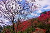 三峽賞櫻超級秘境B區:2015霧裡看花花還是花144