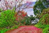 三峽賞櫻超級秘境B區:2015霧裡看花花還是花136