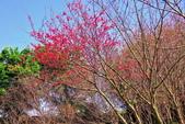 楊梅超級神秘櫻花林:2015年櫻花林隨拍4