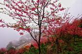 三峽賞櫻超級秘境B區:2015霧裡看花花還是花88