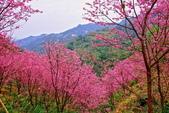 三峽賞櫻超級秘境A區:2015年開到爆炸美到翻34