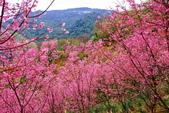 三峽賞櫻超級秘境A區:2015年開到爆炸美到翻45