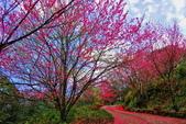 三峽賞櫻超級秘境B區:2015霧裡看花花還是花24