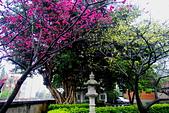 桃園市---楊梅區:回善寺櫻花美景4