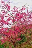 三峽賞櫻超級秘境B區:2015霧裡看花花還是花132