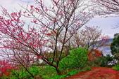 三峽賞櫻超級秘境B區:2015霧裡看花花還是花135