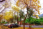 彰化縣---二水鄉:豐柏廣場2015黃花風鈴木盛開17