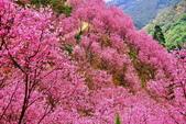 三峽賞櫻超級秘境A區:2015年開到爆炸美到翻27