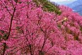 三峽賞櫻超級秘境A區:2015年開到爆炸美到翻28