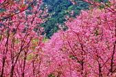 三峽賞櫻超級秘境A區:2015年開到爆炸美到翻142