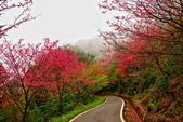 三峽賞櫻超級秘境B區:2015霧裡看花花還是花2
