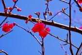 楊梅超級神秘櫻花林:2015年櫻花林隨拍11