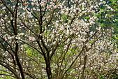 三峽賞櫻超級秘境A區:2014三峽超級賞櫻秘境A區17