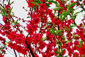 三峽賞櫻超級秘境B區:2015霧裡看花花還是花142