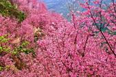 三峽賞櫻超級秘境A區:2015年開到爆炸美到翻150