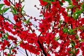 三峽賞櫻超級秘境B區:2015霧裡看花花還是花143