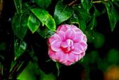 茶花之美:2013坪林粗石斛茶花園12