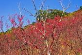 楊梅超級神秘櫻花林:2015年櫻花林隨拍19
