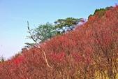 楊梅超級神秘櫻花林:2015年櫻花林隨拍8