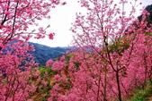 三峽賞櫻超級秘境A區:2015年開到爆炸美到翻70