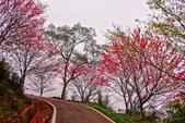 三峽賞櫻超級秘境B區:2015霧裡看花花還是花9