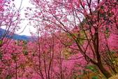 三峽賞櫻超級秘境A區:2015年開到爆炸美到翻60