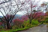 三峽賞櫻超級秘境B區:2014三峽超級賞櫻秘境B區25