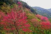 三峽賞櫻超級秘境B區:2015霧裡看花花還是花146
