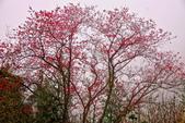 三峽賞櫻超級秘境B區:2015霧裡看花花還是花6