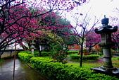 桃園市---楊梅區:回善寺櫻花美景6