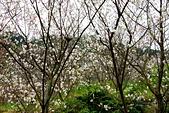 三峽賞櫻超級秘境A區:2014三峽超級賞櫻秘境A區52