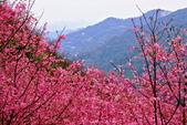 三峽賞櫻超級秘境A區:2015年開到爆炸美到翻148