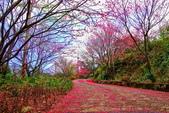 三峽賞櫻超級秘境B區:2015霧裡看花花還是花31