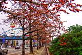 台中市---東勢區:2015東關路木棉花盛開8