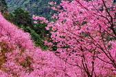 三峽賞櫻超級秘境A區:2015年開到爆炸美到翻158