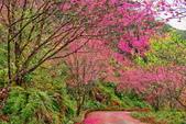 三峽賞櫻超級秘境B區:2015霧裡看花花還是花35