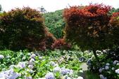 南投縣---竹山鎮:杉林溪藥花園繡球花季11