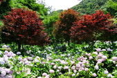 南投縣---竹山鎮:杉林溪藥花園繡球花季12