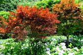 南投縣---竹山鎮:杉林溪藥花園繡球花季13