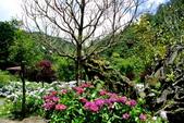 南投縣---竹山鎮:杉林溪藥花園繡球花季14